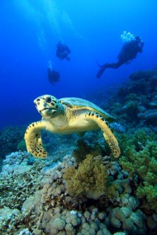 boyton beach florida hawksbill turtle
