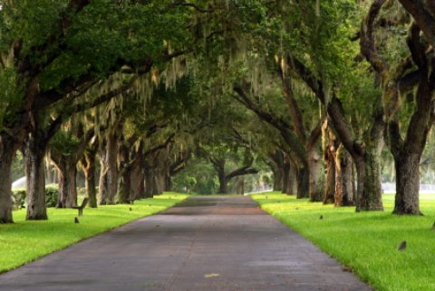 tree path with spanish moss