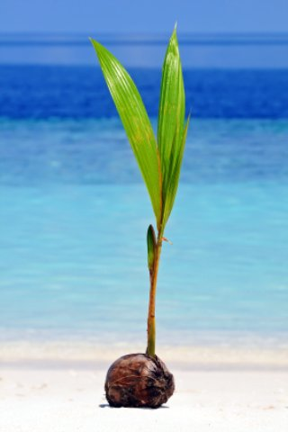 a coconut sprouts on the beach