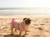 Puggy Beach Bikini Body on point! 2014