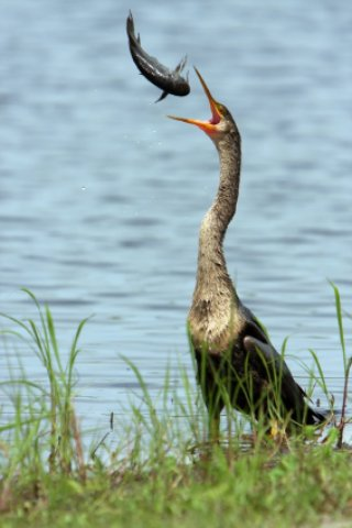 This anhinga caught a fish sideways and tosse
