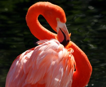 Indian Rks, flamingo