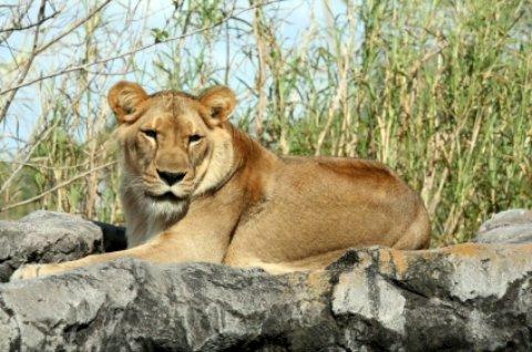 Busch Gardens Lion