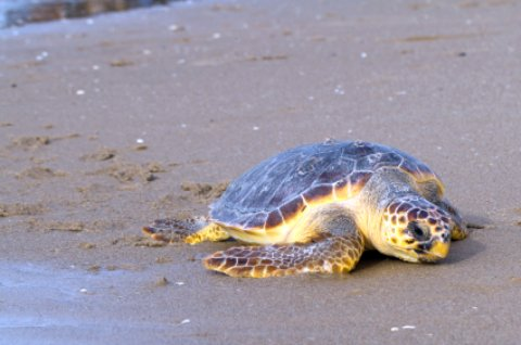 Loggerhead turtle on the beach