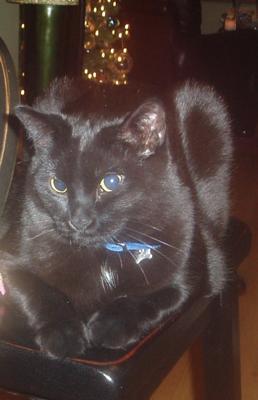 AJ the blue eyed cat
